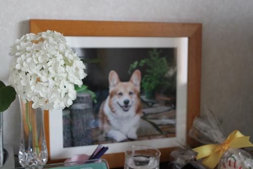 アナベルという白い紫陽花をブラッキーの遺影に飾りました